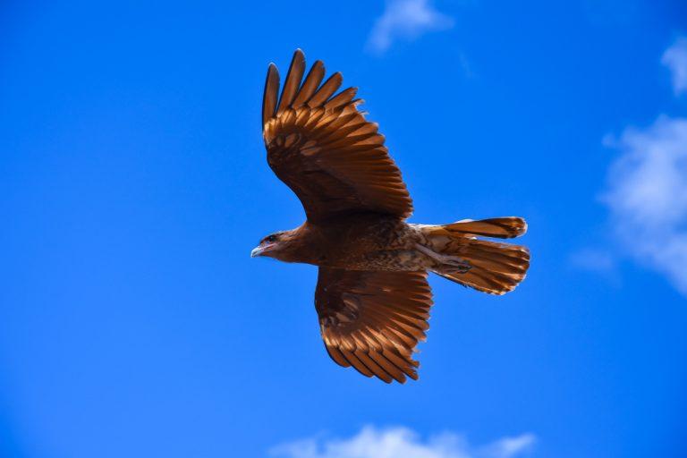 Le pouvoir de l'aigle, véritable symbole du Chamanisme Toltèque. Reliez-vous à la force de l'aigle !